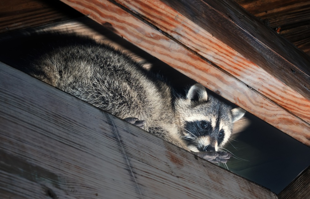 Raccoons Get Into Home