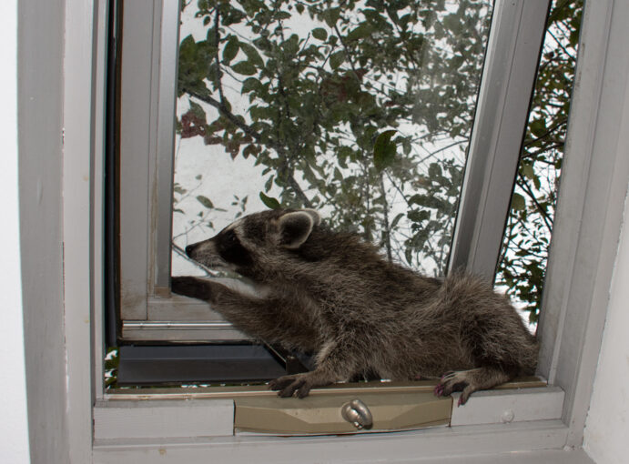 how to prevent raccoons